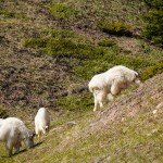 Canadian Mountain Goats